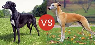 NGA vs AKC Greyhound